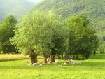 Sheep in a Meadow in Villar Pellice